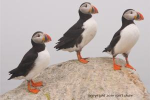 Three Puffins on a rock